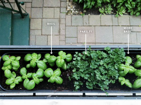 planting herbs in a window box 1