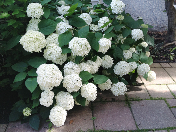 Annabelle Hydrangea | Rather Square