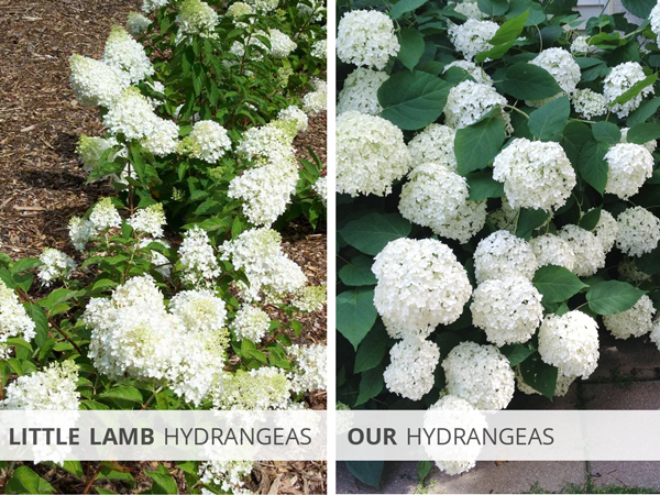 Little Lamb Hydrangeas and Our Hydrangeas | Rather Square