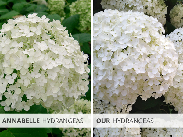 Annabelle Hydrangeas and Our Hydrangeas | Rather Square