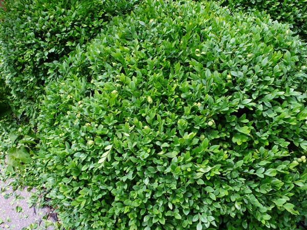 Pruning boxwood and yew shrubs | Rather Square