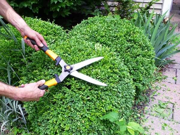 Boxwood Shrubs | Rather Square