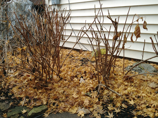Pruning Hydrangeas | Rather Square