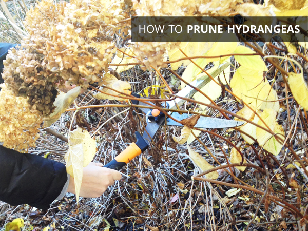 How to Prune Hydrangeas | Rather Square