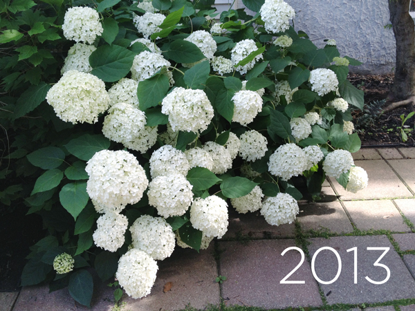 Late Summer Hydrangeas | Rather Square