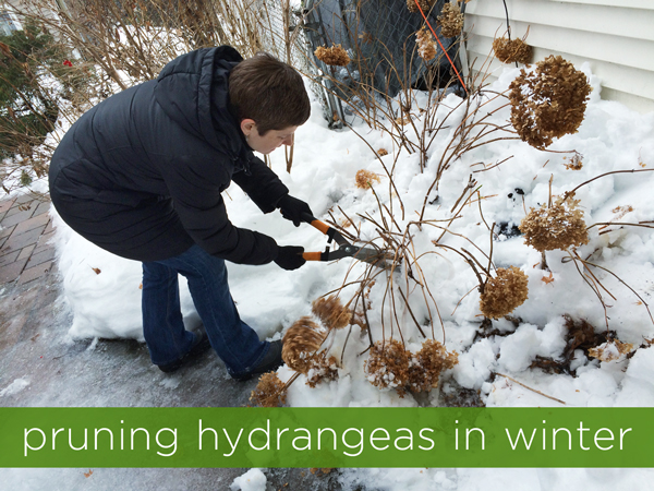Pruning Hydrangeas in Winter | Rather Square