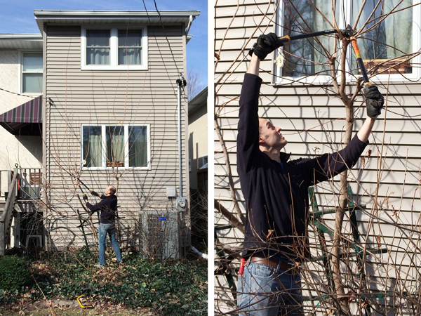Pruning our Smoke Tree into a Bush | RatherSquare.com